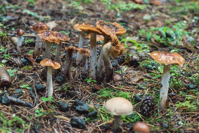 Группа в составе, грибы collinitus Cortinarius стоковые фотографии rf