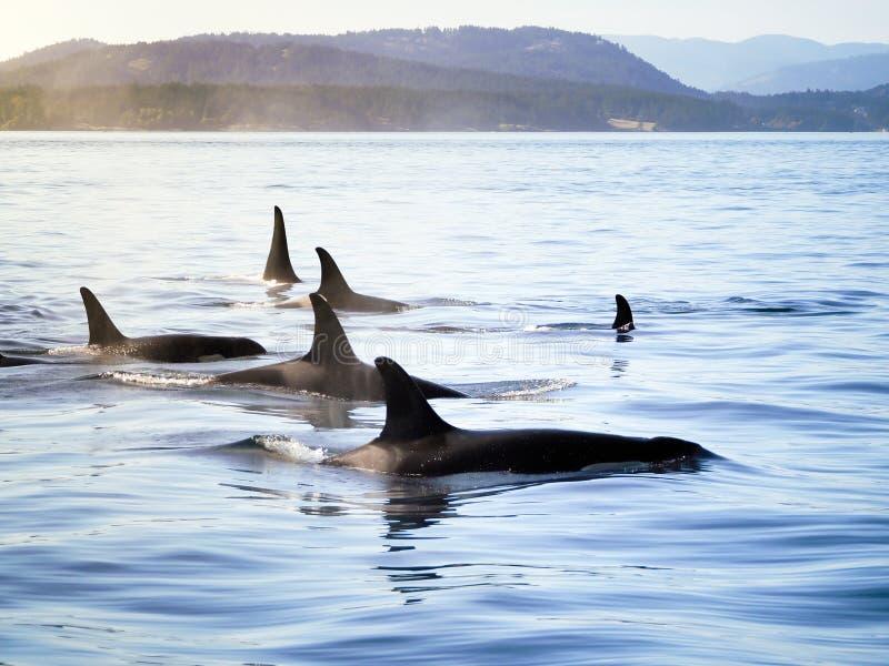 Группа в составе дельфин-касатки косатки двигая совместно в costal ландшафт стоковые изображения rf