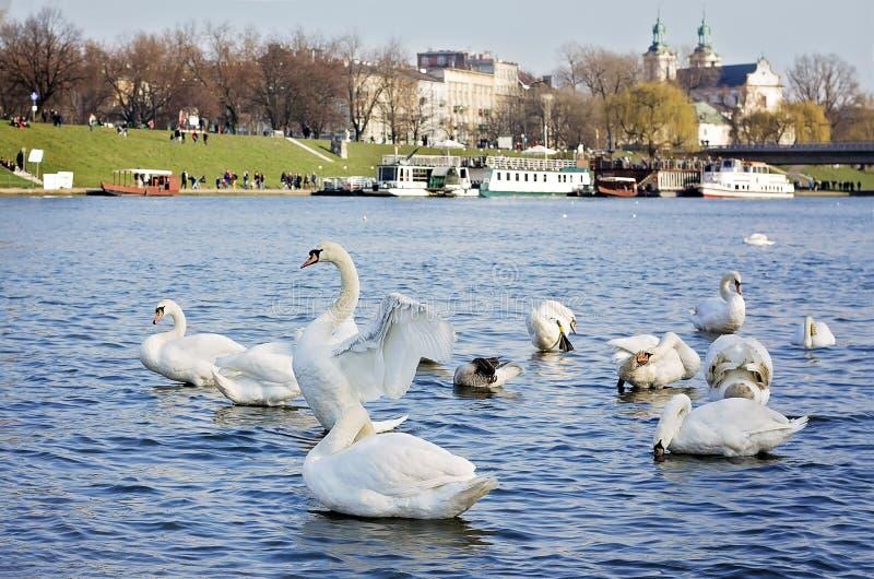 Группа в составе лебеди в Cracow, Польше стоковые изображения