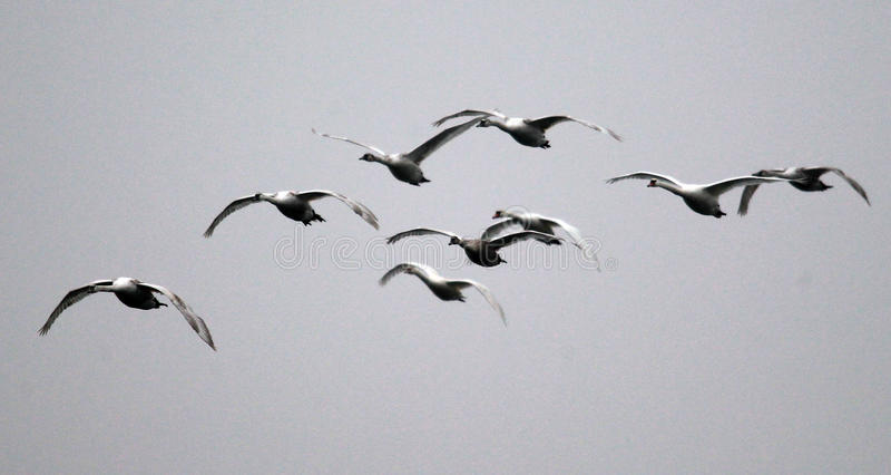 Группа в составе летать лебедей стоковые фото