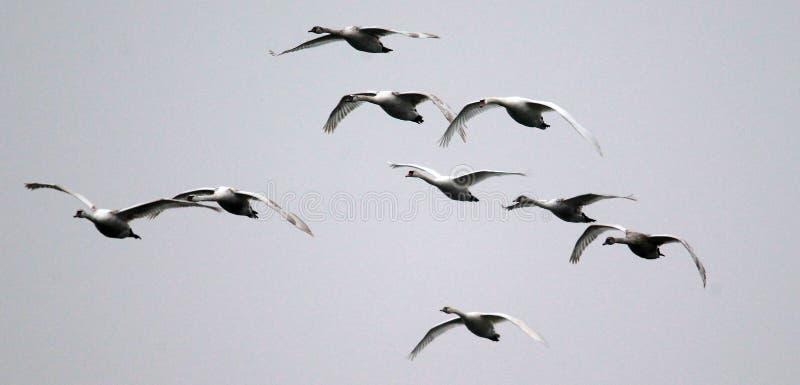 Группа в составе летать лебедей стоковые изображения rf