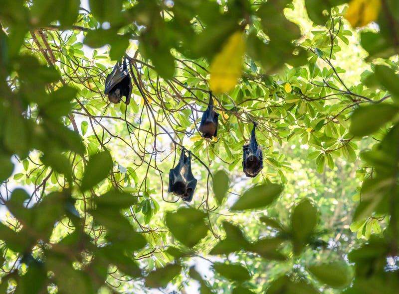 Группа в составе летучие мыши спать на дереве стоковые фотографии rf
