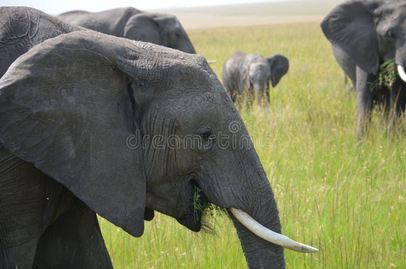 Группа в составе еда слонов стоковые фотографии rf