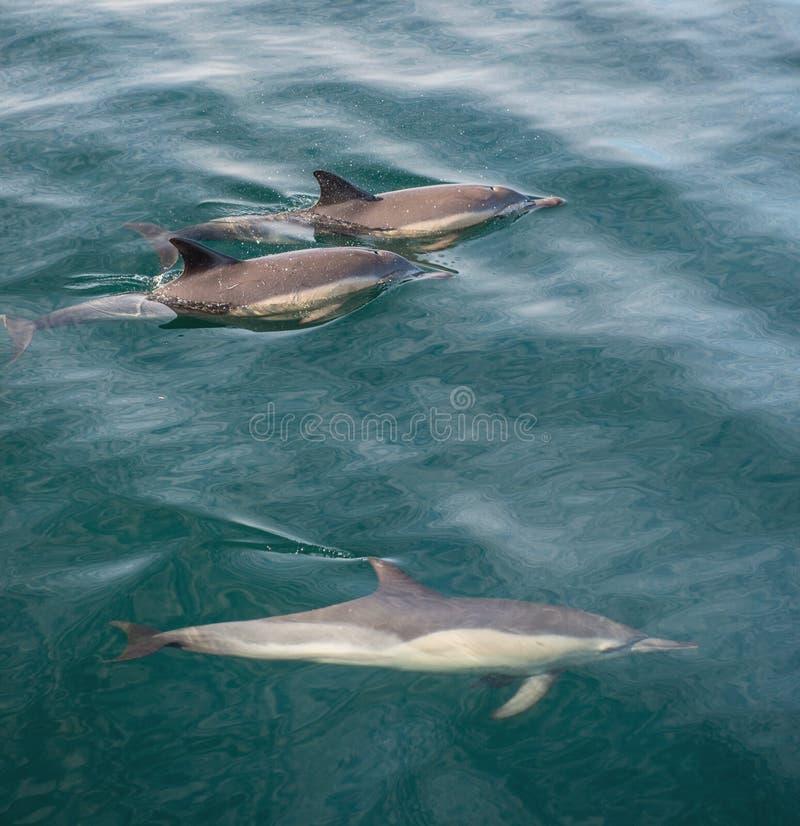 Группа в составе дельфины, подводное заплывание в океане стоковые фотографии rf