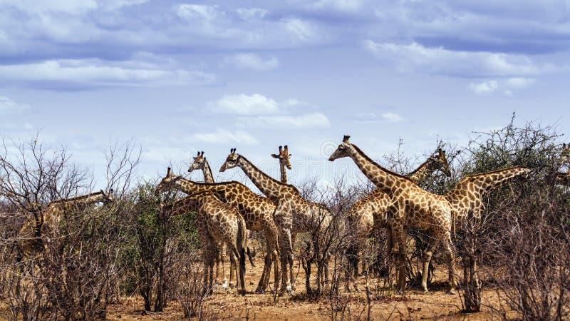 Группа в составе жирафы в национальном парке Kruger стоковые изображения rf