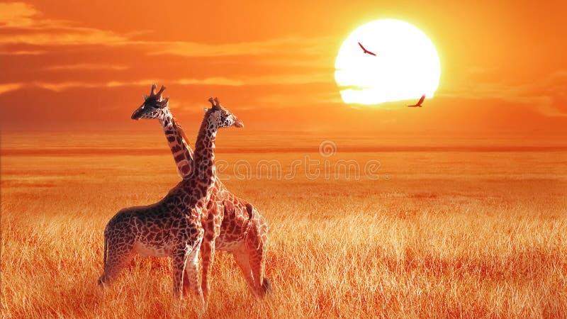Группа в составе жираф на заходе солнца в национальном парке Serengeti Танзания Дикая природа Африки стоковое изображение rf