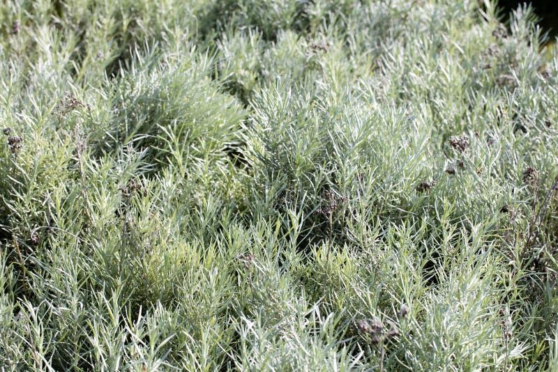 Группа в составе заводы лаванды с постоянным серым зеленым цветом выходит стоковое фото