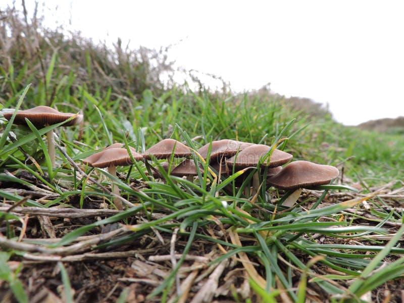 Группа в составе коричневые грибы в траве стоковые изображения rf
