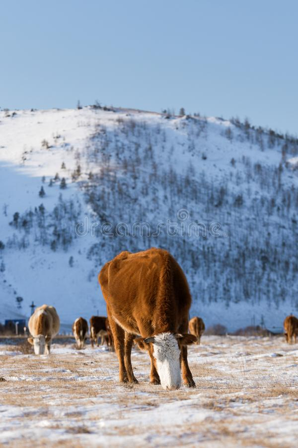 Группа в составе коровы есть траву в зиме, предпосылке долины снега стоковые фото