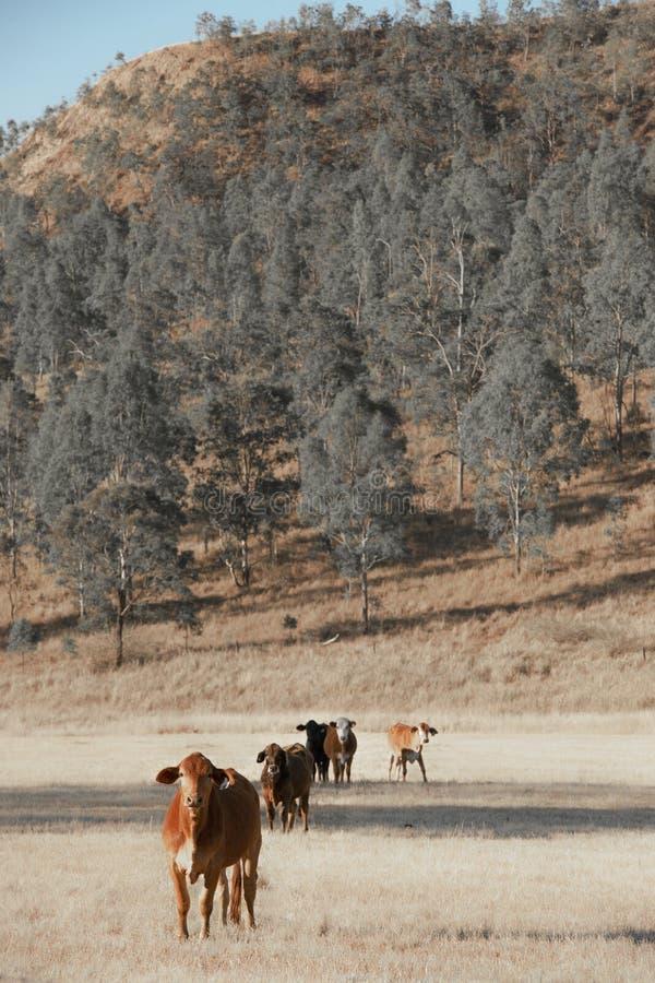 Группа в составе коровы стоковые изображения