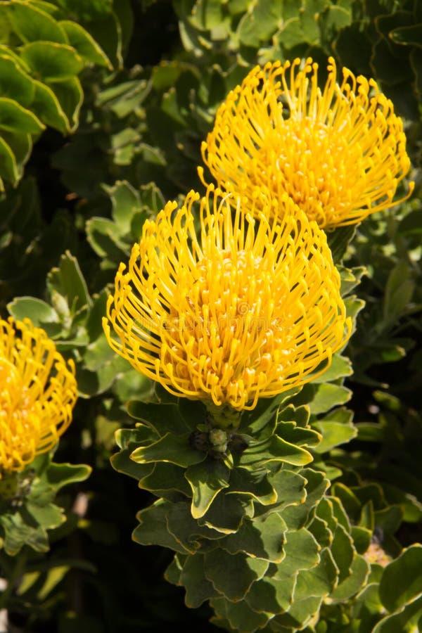 Группа в составе красивые желтые цветки pincushion Protea стоковое изображение