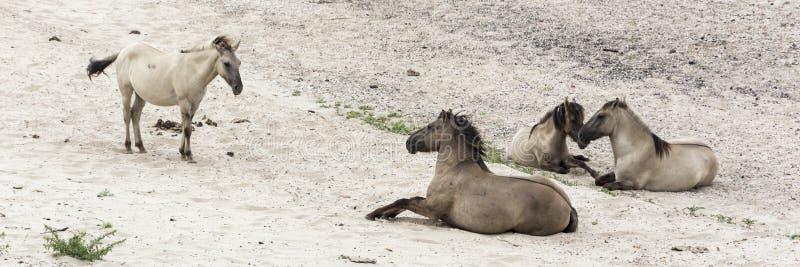 Группа в составе 4 красивых животного, лошади Konik, на банках Waal, отдыхая в после полудня стоковые фотографии rf