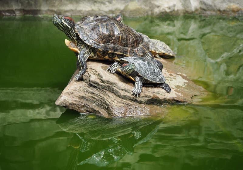 Группа в составе красно-ушастые слайдеры или водяные черепахи стоковое фото