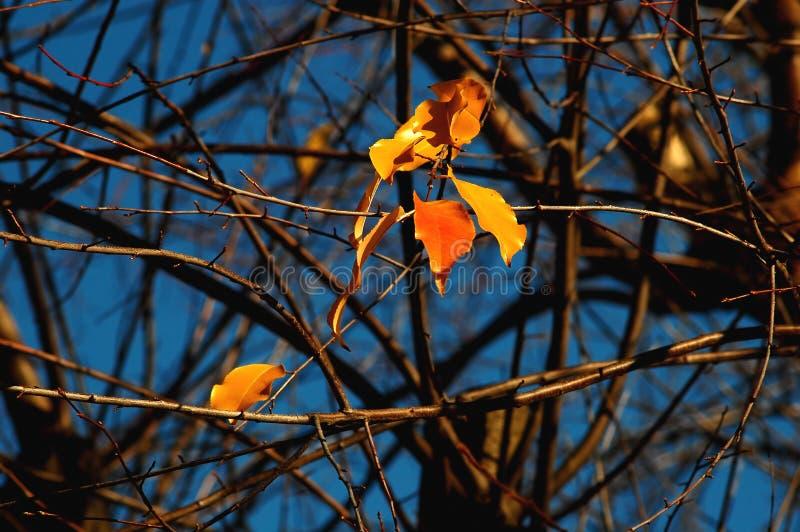 Группа в составе красные и желтые красочные листья дерева вишн-птицы и чуть-чуть ветви на предпосылке темносинего неба стоковое изображение