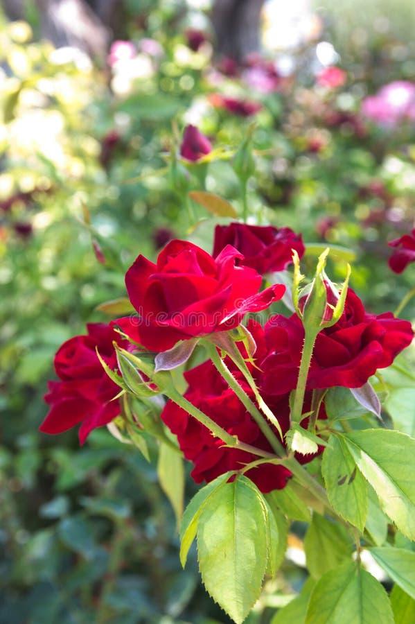 Группа в составе красные розы на rosebush стоковые изображения