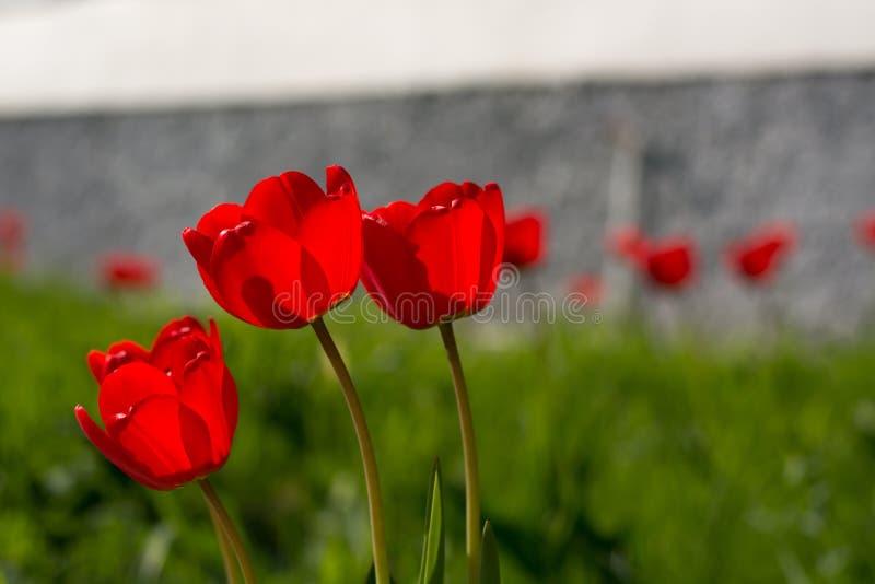 Группа в составе красные тюльпаны на зеленом луге стоковые изображения