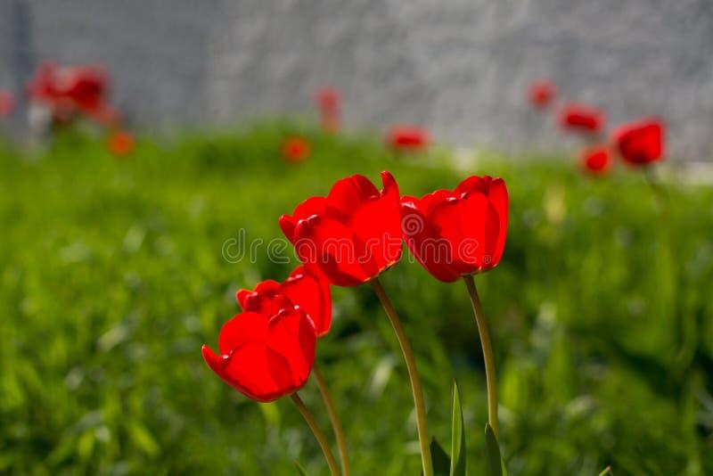 Группа в составе красные тюльпаны на зеленом луге стоковое изображение