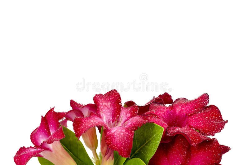 Группа в составе красные цветки азалии стоковое фото rf