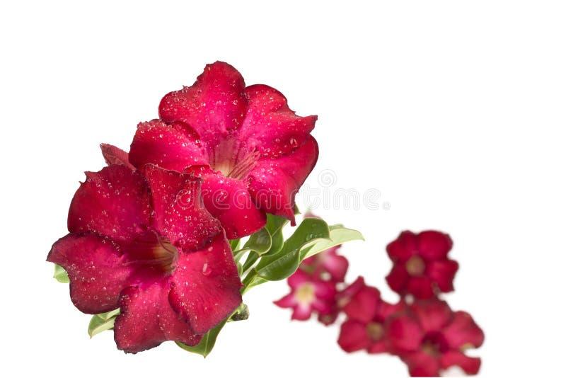 Группа в составе красные цветки азалии стоковое изображение