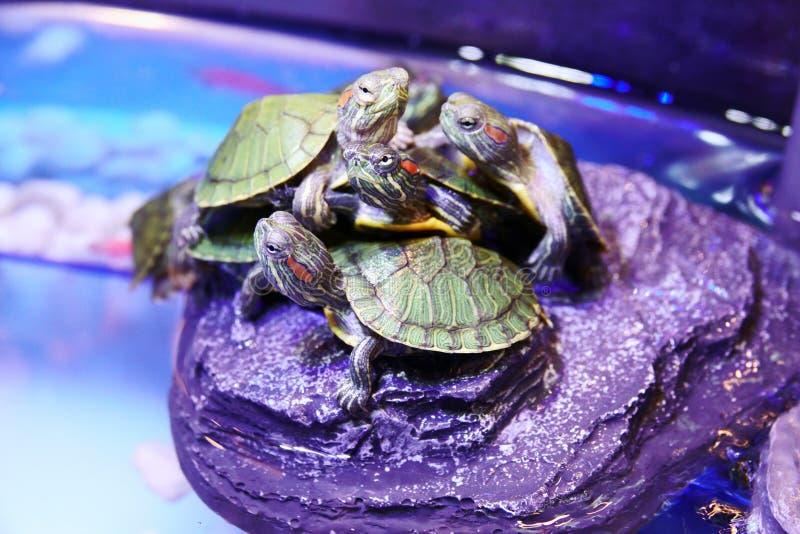 Группа в составе красный ушастый конец черепахи слайдера вверх стоковая фотография