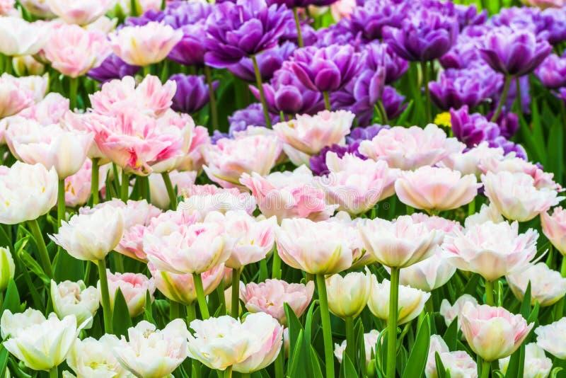 Группа в составе красочные тюльпаны Цветок белого, розовых и сирени тюльпана загорен солнечным светом стоковое фото rf