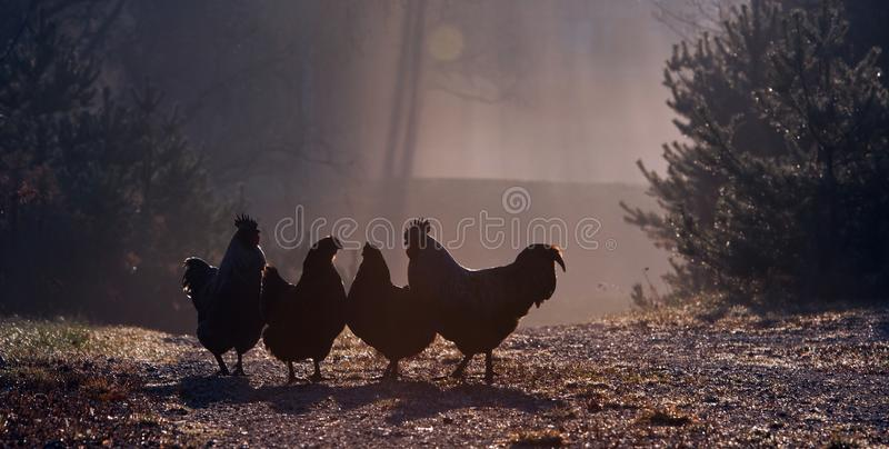 Группа в составе курицы, раннее утро в осени стоковые изображения rf