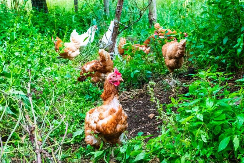 Группа в составе курицы свободные для того чтобы двинуть в зеленую природу стоковые фото