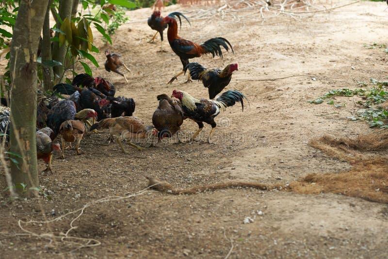 Группа в составе курицы, цыпленок есть в природе стоковое изображение