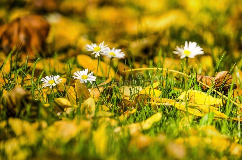 Группа в составе маргаритки на лужайке в осени стоковое фото