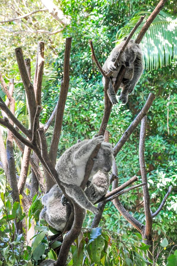 Группа в составе медведи коалы спать в деревьях стоковое фото rf