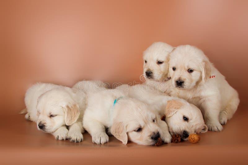 Группа в составе милые щенята labrador стоковые изображения