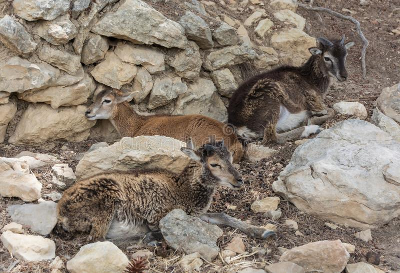 Группа в составе молодое gmelini Mouflons, барана или orientalis барана лежа на утесах стоковое фото rf