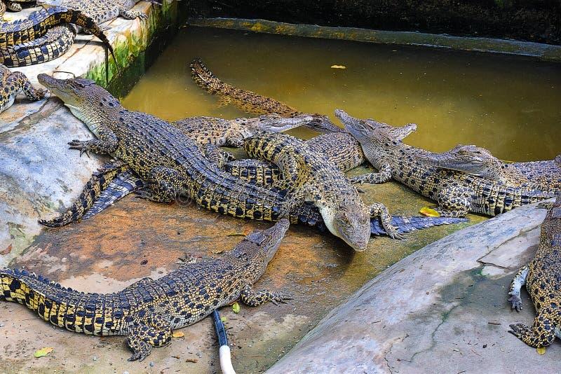 Группа в составе молодые крокодилы на скотном дворе в Kuching, Сараваке стоковое изображение rf