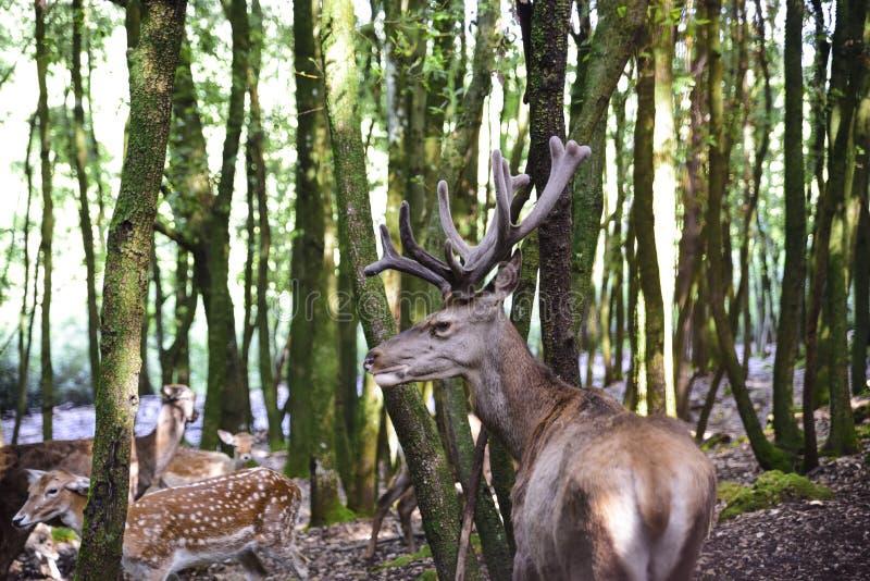 Группа в составе молодые олени в расчистке леса стоковое фото