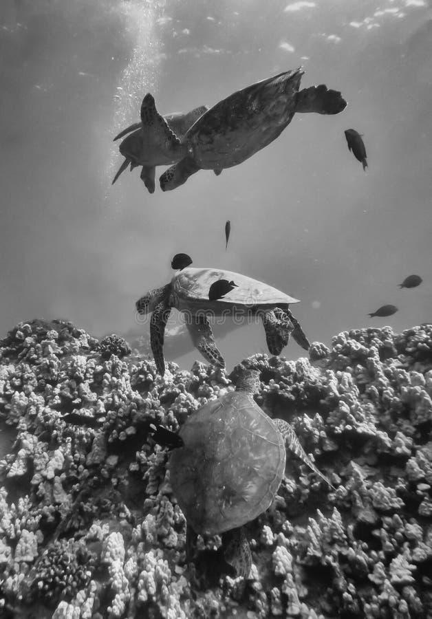 Группа в составе морские черепахи над рифом в черно-белом стоковые фото