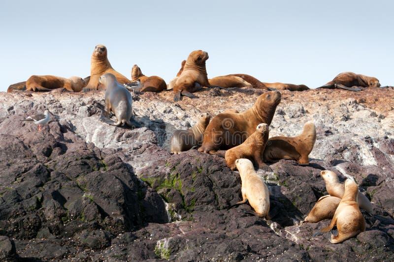 Группа в составе морсые львы стоковые изображения rf