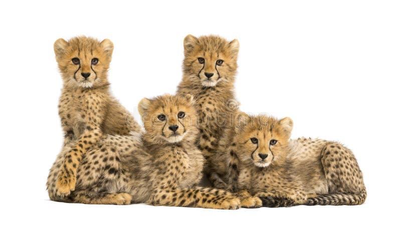 Группа в составе новички гепарда месяцев семьи из трех человек старые совместно стоковые изображения rf