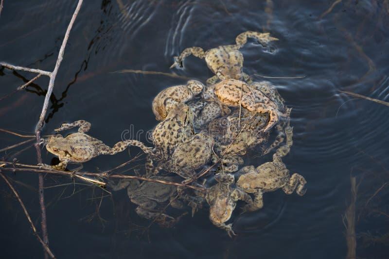 Группа в составе общее bufo Bufo жаб - сопрягающ, в чехии стоковые изображения rf