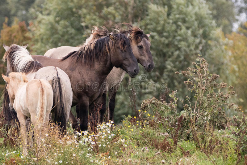Группа в составе лошади konik стоковые изображения