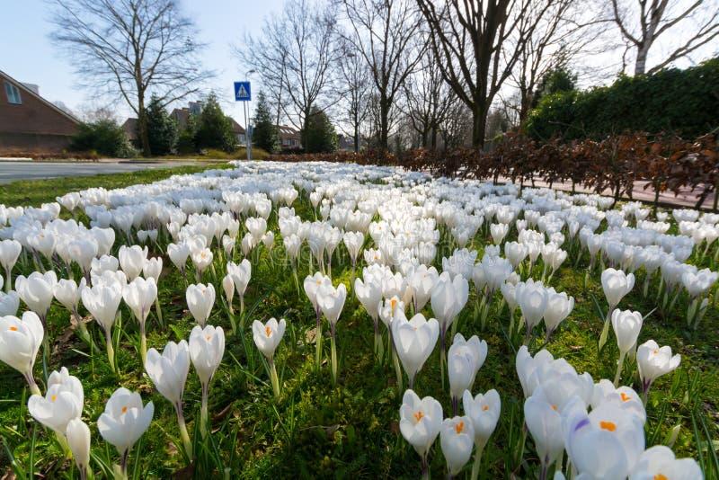 Группа в составе первая весна цветет - большое белое outsi цветения крокусов стоковое изображение rf