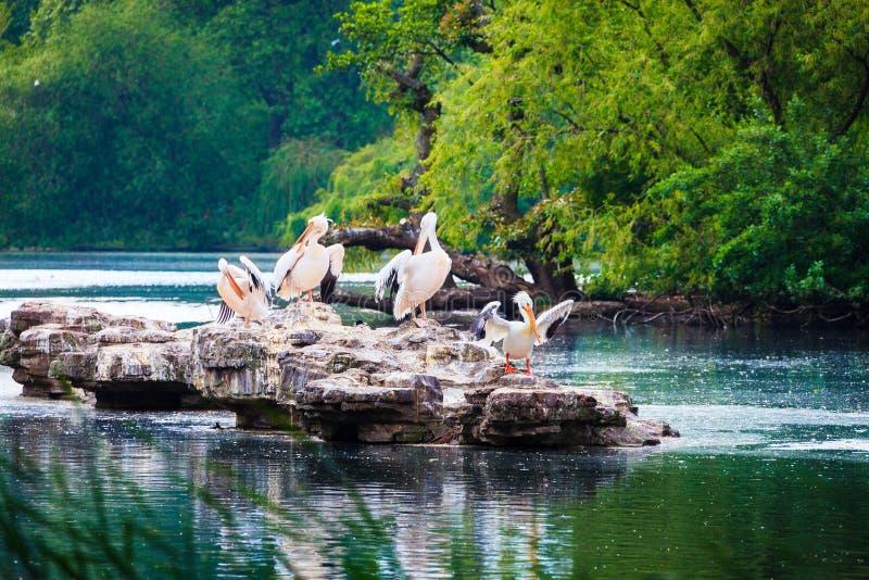 Группа в составе пеликаны сидя на утесе озера парк ` St James, Лондона стоковые фото