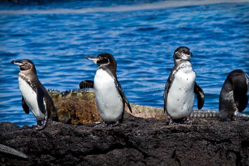 Группа в составе пингвины на утесе в Галапагос стоковое изображение