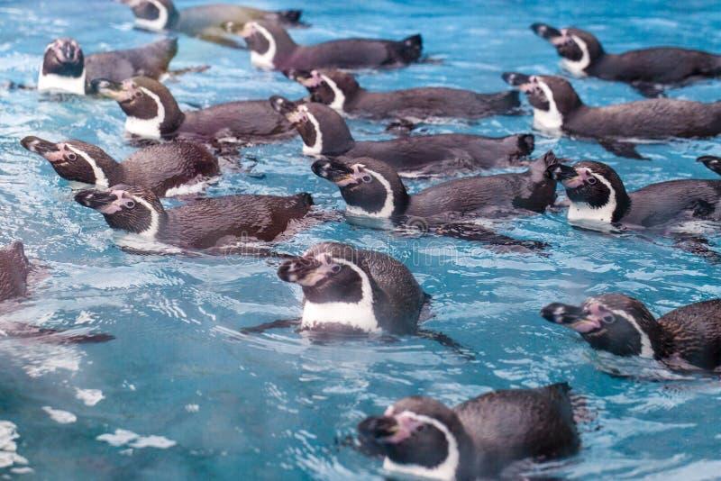 Группа в составе пингвины плавая совместно стоковая фотография rf