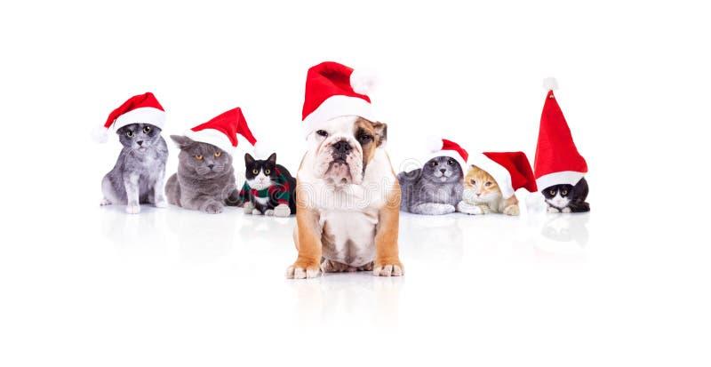 Группа в составе 6 прелестных котов рождества с руководителем собаки santa стоковое изображение