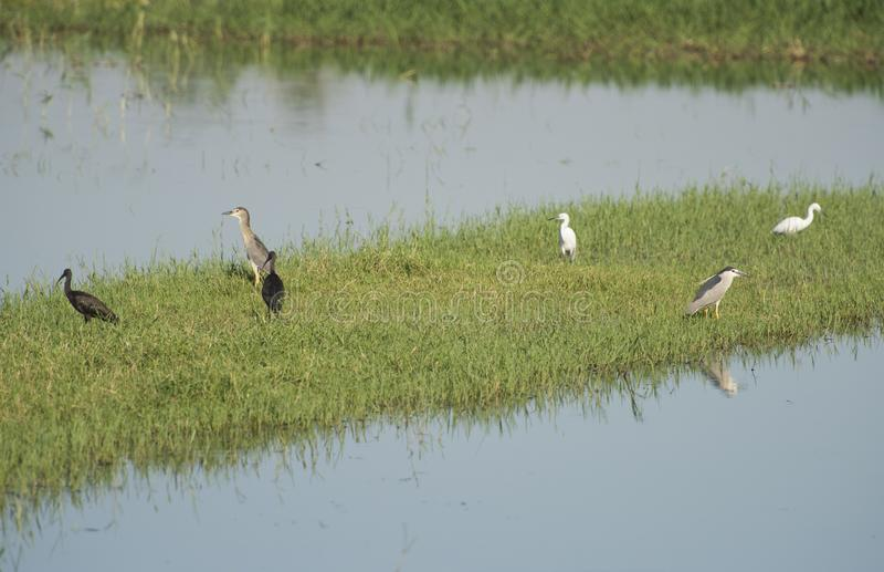 Группа в составе птицы воды заболоченного места стояла в тростниках топи реки стоковые фото