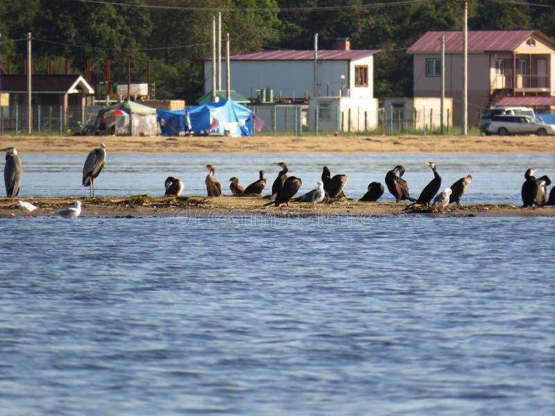 Группа в составе птицы: цапли, бакланы, чайки на песочном острове на предпосылке домов, шатры и автомобили стоковые фотографии rf