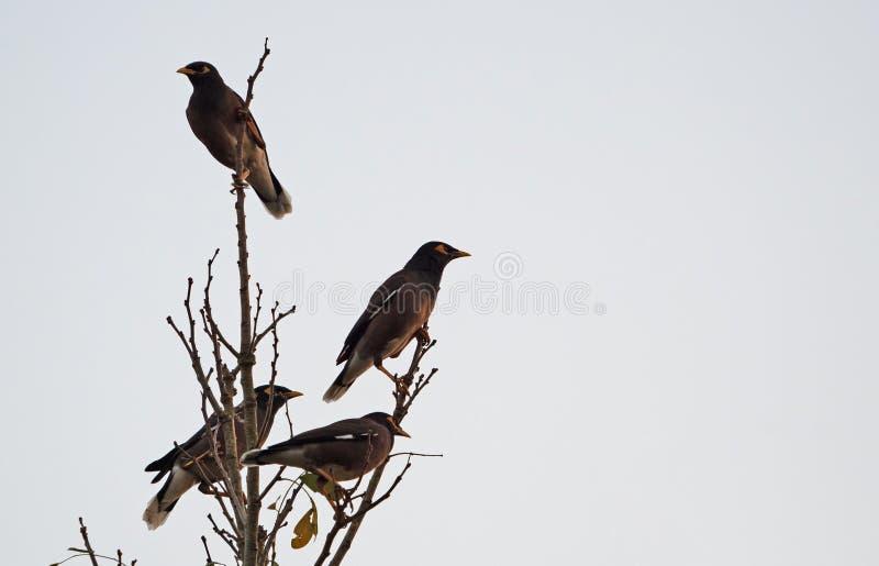 Группа в составе птицы Mynah садить на насест на ветвях на предпосылке неба стоковое изображение