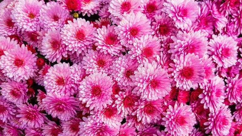Группа в составе розовый конец цветения цветка хризантемы вверх стоковое фото rf