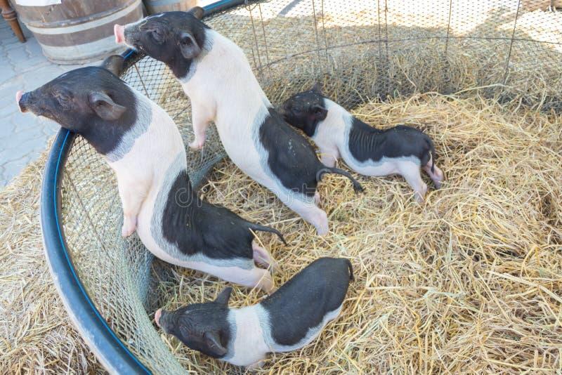Группа в составе свинья на сене и соломе стоковая фотография