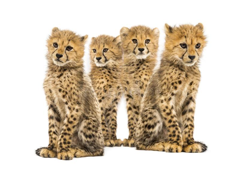 Группа в составе сидеть новичков гепарда месяцев семьи из трех человек старый стоковые фото